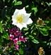 chevettte-blanche-et-daphne-cneorum-rose